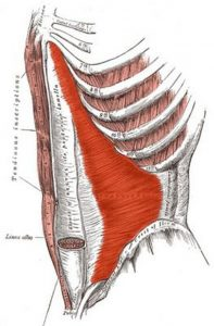 The transverse abdominal muscles